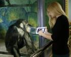 How Chimpanzees Helped Inspire the Windows Start Menu