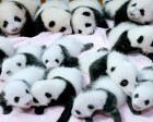 CSS-Tricks and Web Designer News Join the Panda Family